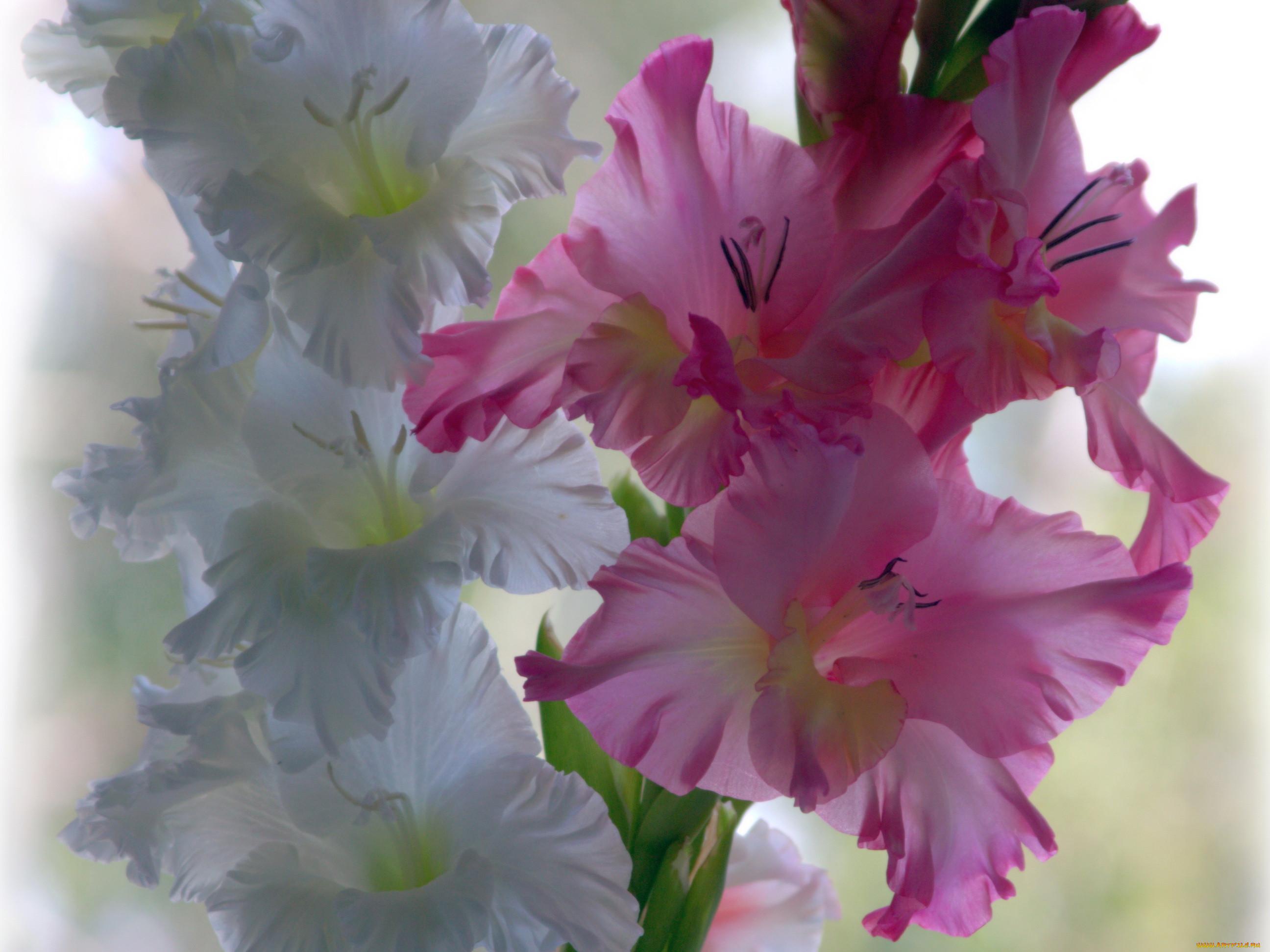 Красивые цветы гладиолусы фото и картинки